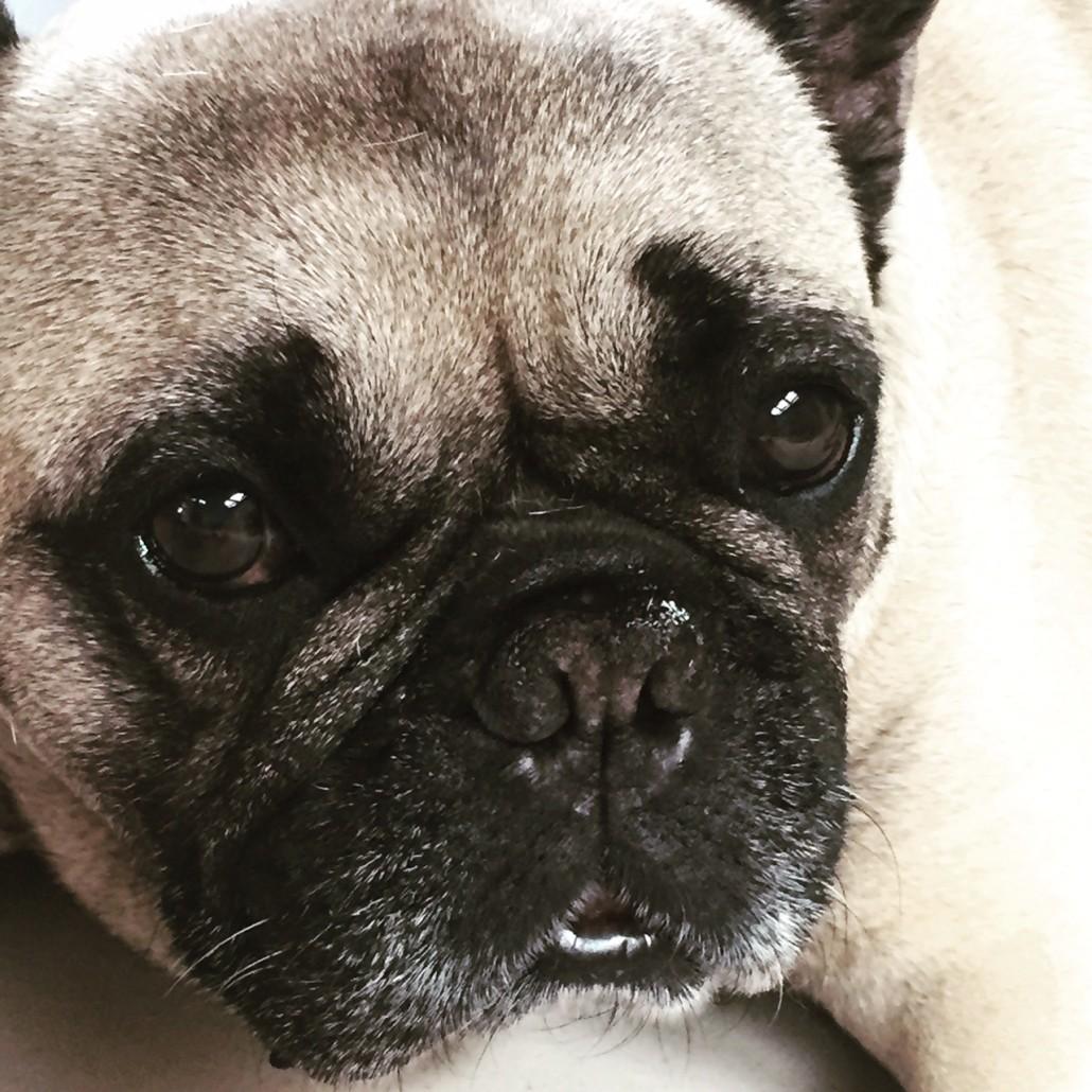 Boris Französische Bulldogge