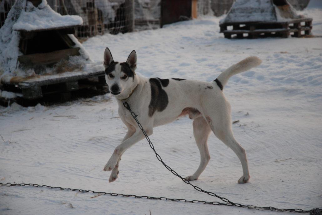 Ungeduldig auf den Einsatz warten. Schlittenhunde lieben Kälte und Bewegung. Foto: Elisabeth Giovanoli